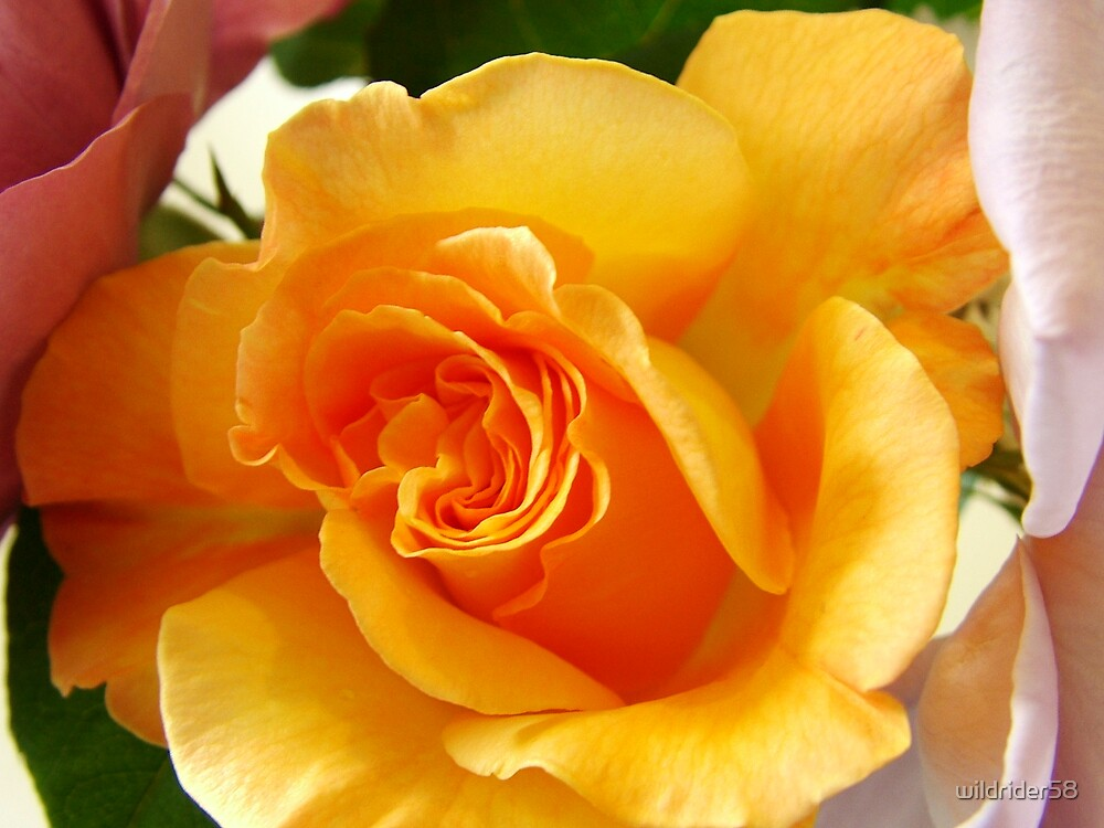 rose 2 by wildrider58