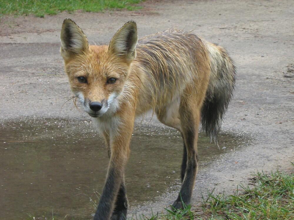 fox by Jessica  Taylor-Cassan