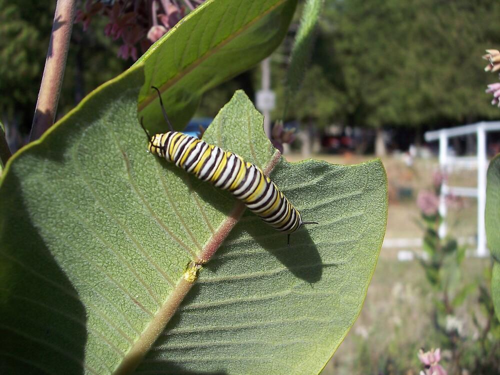 Monarch Catipiller by hgreen9479