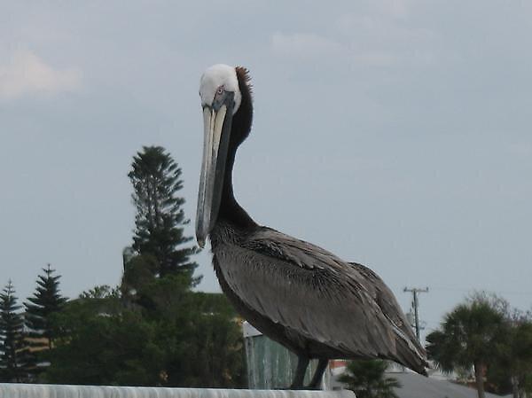 Pelican by clyon