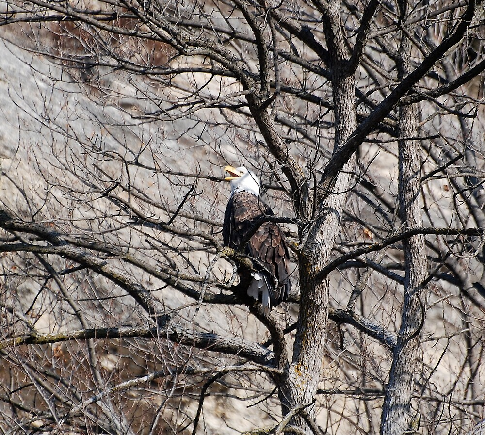 American Bald Eagle laughing while he rests by Jim Caldwell