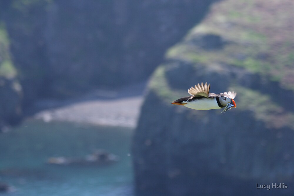 Puffin on the Wing by Lucy Hollis