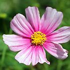 Pink Cosmos  by Cynthia48