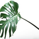 Plants collection Monstera deliciosa by Darren Edwards