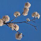 Cherry Blossom Pom Poms by Gerda Grice