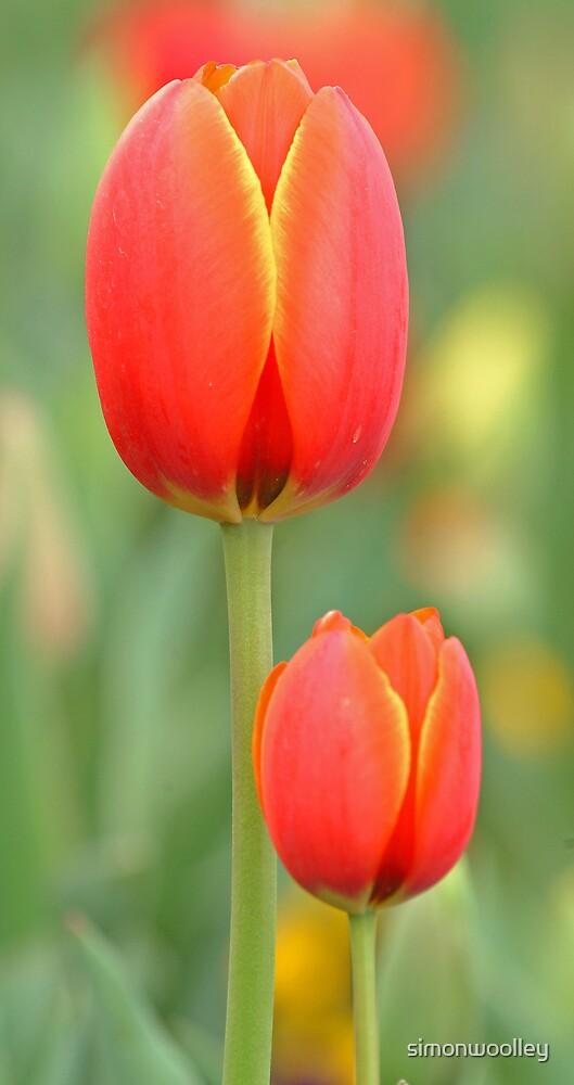 Tulips by simonwoolley