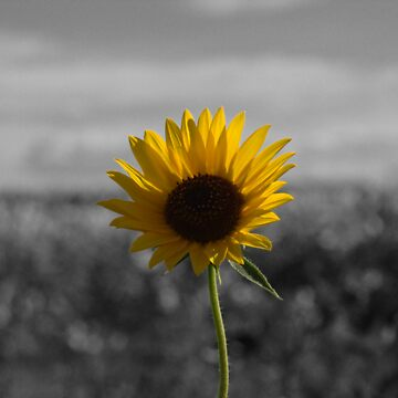 Sunflower by supertin