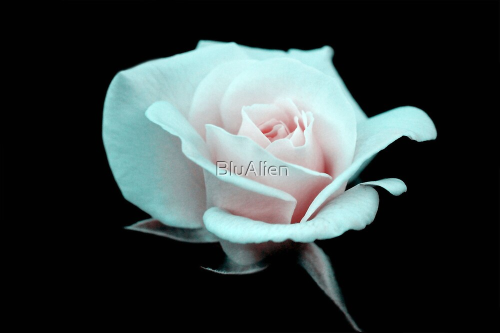 Rose Art by PixelBoxPhoto