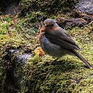 The European robin (Erithacus rubecula) by Marilyn Harris