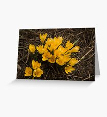 Spilled Gold - Bright Yellow Crocus Harbingers of Spring Greeting Card