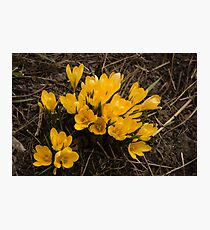 Spilled Gold - Bright Yellow Crocus Harbingers of Spring Photographic Print