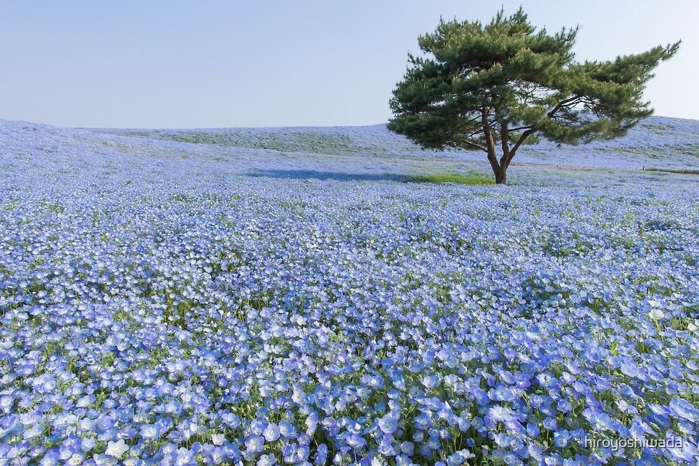 Nemophila hills by hiroyoshiwada
