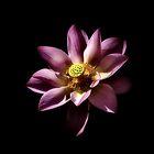 Lotus flower by missmoneypenny