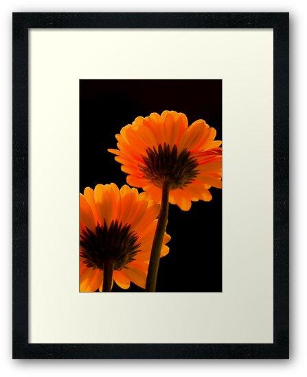 Orange Gerbera by Rob  Ford