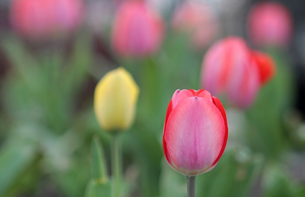 Pretty tulips by Linda Crockett