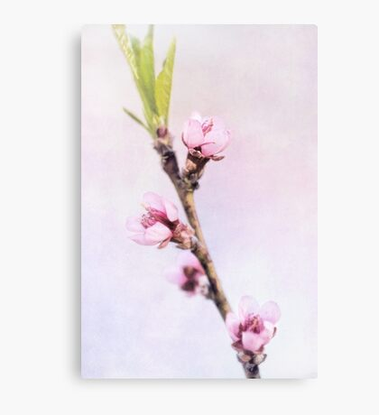 Spring at Last - Lovely Peach Blossoms Canvas Print