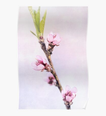 Spring at Last - Lovely Peach Blossoms Poster