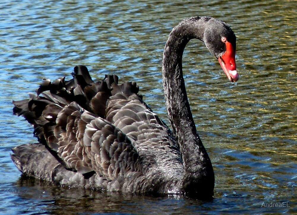 Black Beauty! - Black Swan - NZ - Southland by AndreaEL