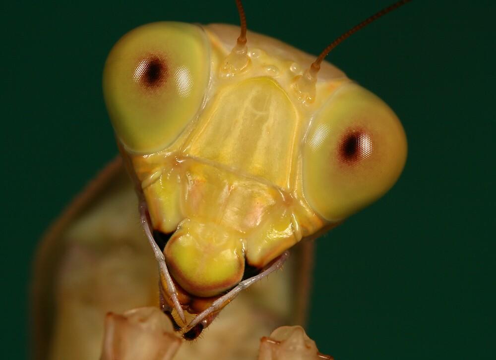 Hierodula solomonis - jade mantis by macrojunkie