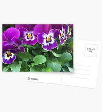 Purple pansies Postcards