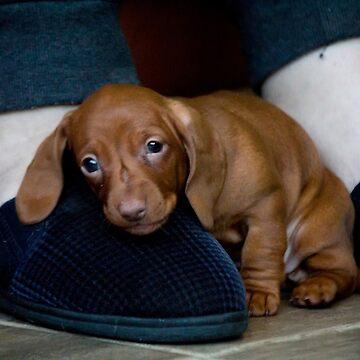 Tired Puppy by risingstar