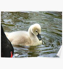 Mum...Mum.. Please Read The Ugly Duckling Story Again.. - Cygnet - Maple Glen NZ Poster