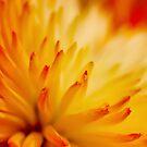 Fireflower by David Lamb