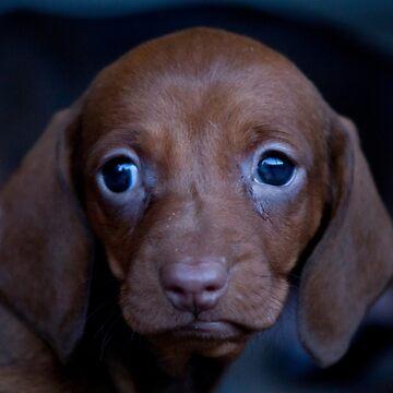 Daschound Puppy by risingstar