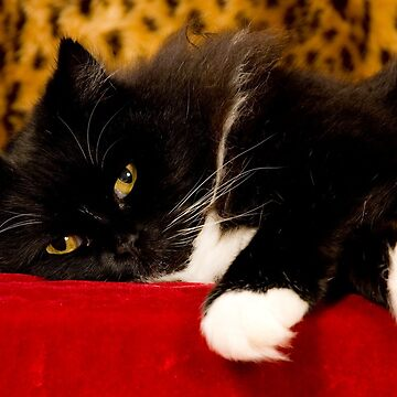 Black Cat With White Feet by risingstar