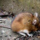 Munching mouse by missmoneypenny