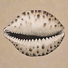Cowrie Sea Shell in Pastel by Fiona Cross