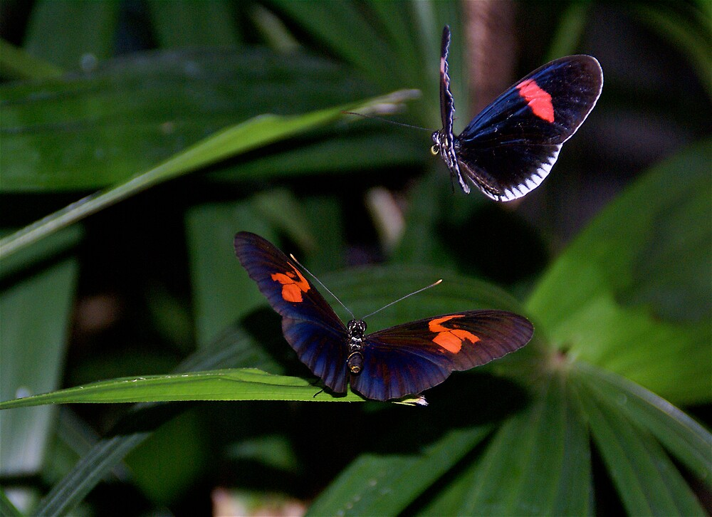 Butterfly Pair by Jim Caldwell