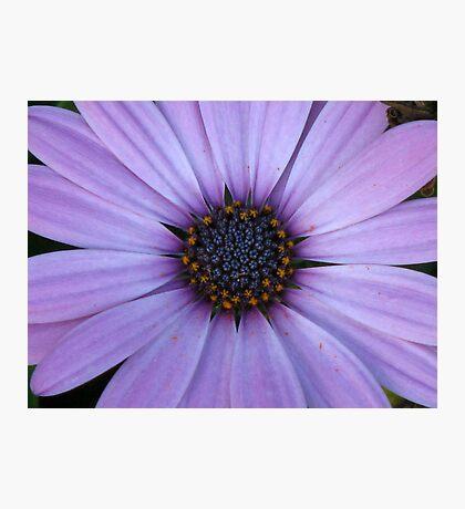 Mauve Daisy Photographic Print