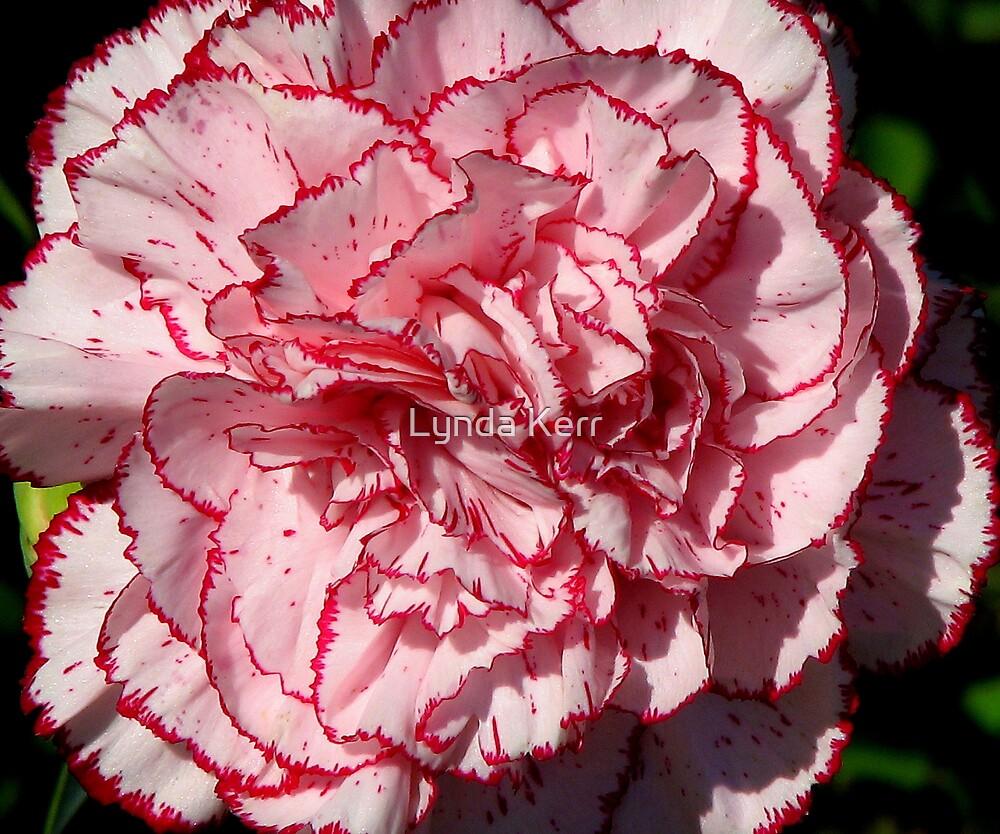 Carnation 2 by Lynda Kerr