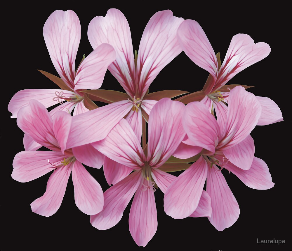 pink geranium by Lauralupa