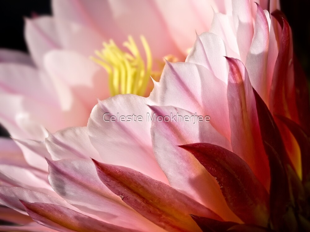 Kaktus kann eine weiche Seite haben von Celeste Mookherjee