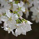 Teardrop Blossom by Scott Mitchell