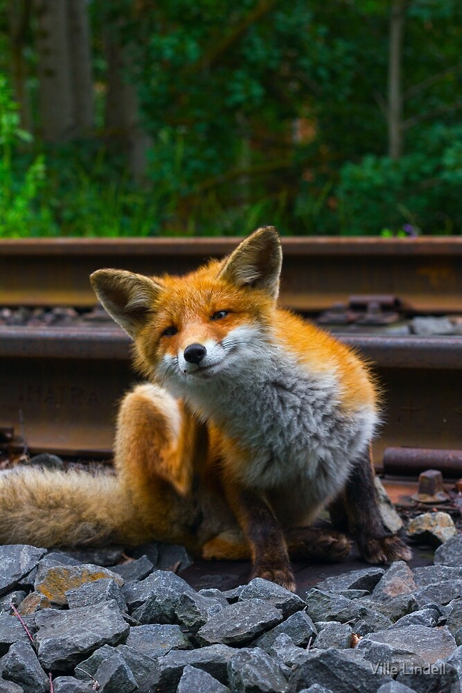 Urban Fox I by Ville Lindell