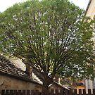 A big tree by zumi