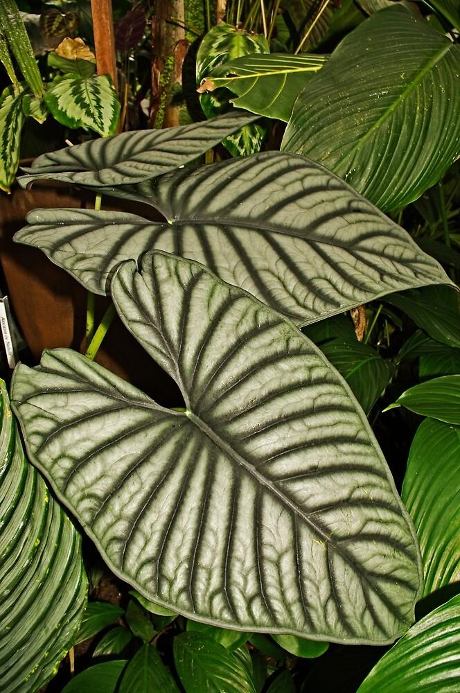 Big Leaf Begonia (Maybe?) by TonyCrehan