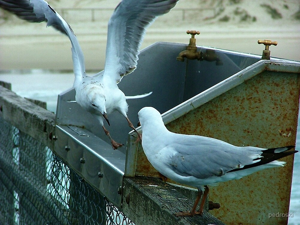 Seagulls squabbling  by pedroski