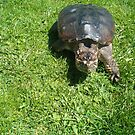 snapping turtle by cynthia harper