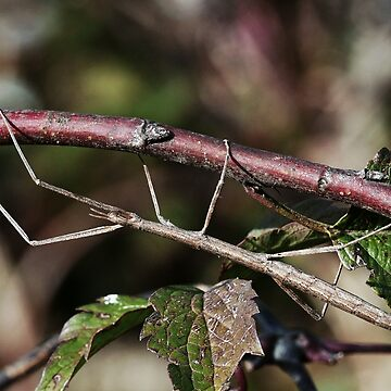 Stick insect Phasme story 11   (c)(t) by Olao-Olavia / Okaio Créations fz 1000 by caillaudolivier