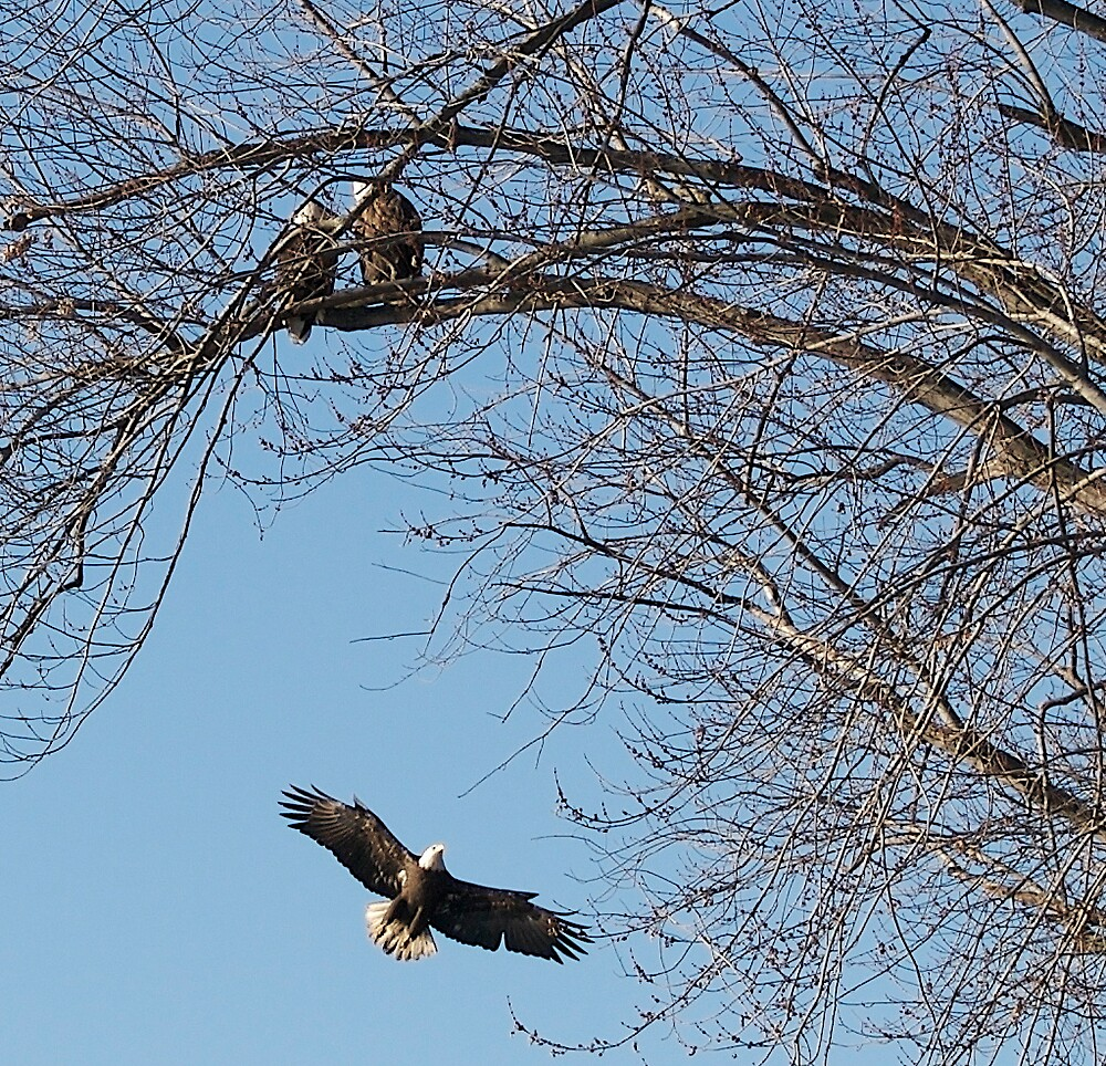 Eagle in flight by Jim Caldwell