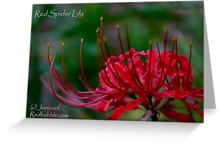 Red Spider Lily by Jonicool