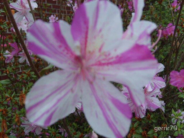 Pink & White by gerrir79