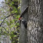 Woody Woodpecker by Lin Taylor