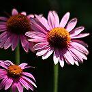 Beautiful Cone Flowers by autumnwind