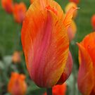 Fiery Tulip by Lee d'Entremont
