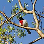 Spring Rose Breasted Grosbeak by Debbie Oppermann
